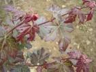 Acer campestre Red Shine