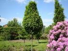 Carpinus betulus Columnaris Nana