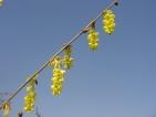 Corylopsis glabrescens Lemon Drop