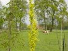 Ulmus hollandica Wredei