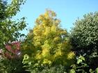 Fraxinus excelcior Allgold