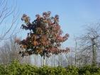 Liquidambar styraciflua Autumn Color Globe