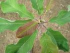 Magnolia hypoleuca