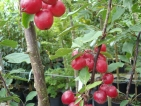 Malus Red Obelisk