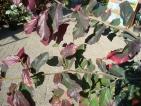 Parrotia persica Bella