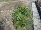 Sorbus cashmiriana