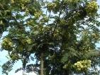 Sorbus frutescens