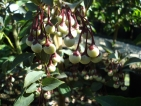 Styrax japonicus Pink Snowbell