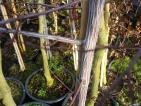 Acer davidii Serpentine