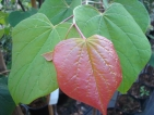 Cercis canadensis Apalachia Red