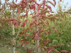 Euonymus hamiltonianus Indian Summer