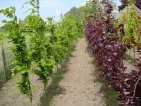 Fagus sylvatica Dawyck Purple