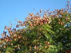 Koelreuteria paniculata Rosseels