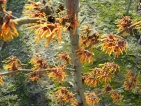 Hamamelis intermedia Aphrodite