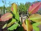 Magnolia zenii x salicifolia Jermyns
