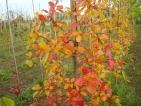 Nyssa sylvatica Autumn Cascades
