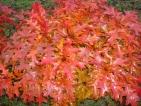 Quercus palustris Isabel