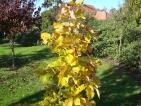 Quercus x Pondaim