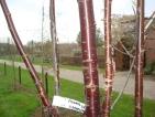 Prunus serrula Branklyn