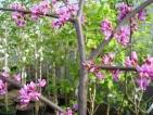 Cercis canadensis Lavender Twist