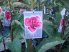 Magnolia Felix Jury ®