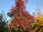 Quercus coccinea Splendens
