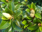 Magnolia grandiflora Symes Select