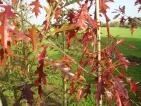 Quercus ithaburensis Hemelrijk