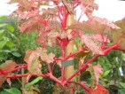Acer conspicuum Red Flamingo