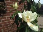 Magnolia grandiflora Praecox