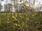 Chimonanthus praecox Concolor