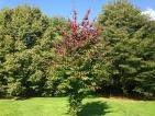 Parrotia persica Jodrell Bank