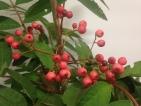 Sorbus Pink Ness