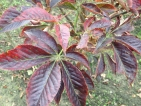 Aesculus glabra October Red