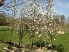Magnolia kobus Isis