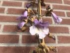 Paulownia Purple Splendour