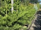 Sequoiadendron giganteum Greenpeace