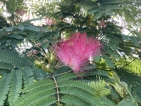 Albizia julibrissin Tropical Dream