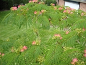 Albizia julibrissin Boubri (Ombrella)