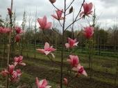 Magnolia Daybreak