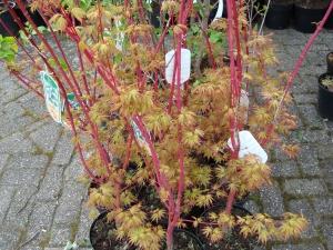 Acer palmatum Sangokaku
