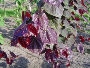 Cercis canadensis Forest Pansy