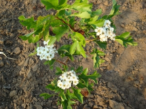 Crataegus pinnatifida major
