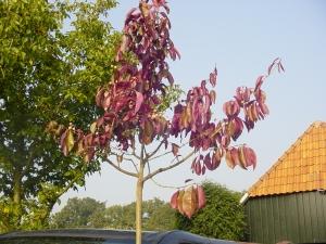 Euonymus grandiflorus Red Wine