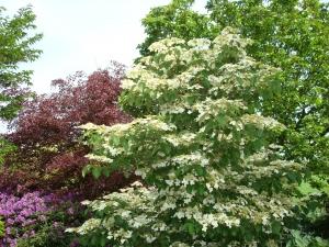 Viburnum plicatum Watanabe