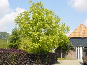 Juglans regia Broadview
