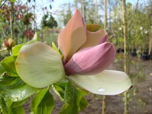 Magnolia Brooklynensis Woodsman
