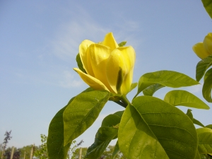 Magnolia brooklynensis Yellow Bird