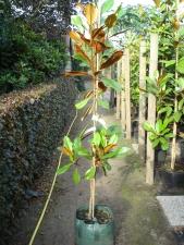Magnolia grandiflora D.D. Blanchard