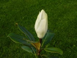 Magnolia grandiflora Edith Bogué